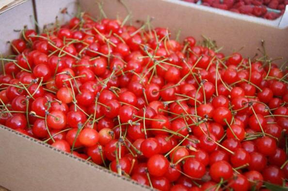 10 lbs of fresh sour cherries from Fieldstone Farm