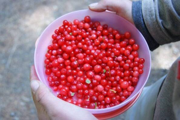 bowl of bright red huckleberries